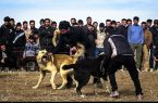 برگزارکنندگان مسابقه نزاع سگها در تالش دستگیر شدند