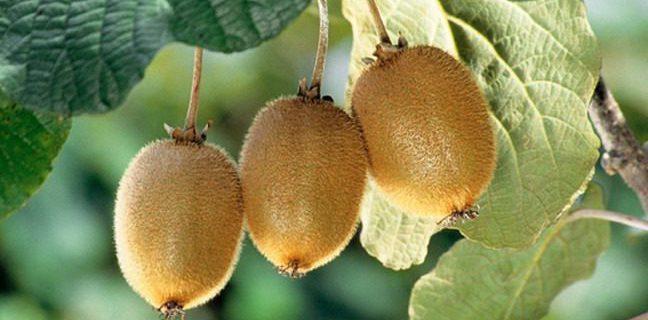 افزون بر ۱۹۲ هزار تن کیوی از باغهای گیلان برداشت شد