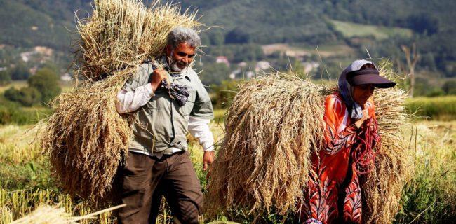 نبرد نابرابر کیوی و برنج در شالیزارهای تالش